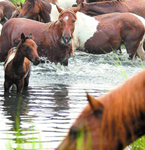 Pic, Ponies Swimming03